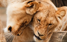 Preview wallpaper Two lions, tenderness, predators