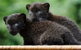 Vorschau des Hintergrundbilder Zwei junge schwarze Jaguare