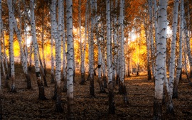 Ural, Rusia, bosque de abedules, otoño