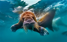 Walrus swim underwater, tusks