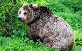 Urso molhado olhar para trás, arbustos, verde