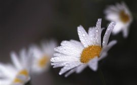 Preview wallpaper White daisy, water drops