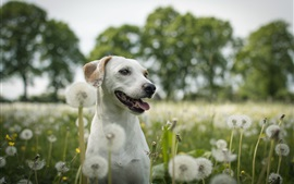 Preview wallpaper White dog, dandelions