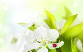 Preview wallpaper White flowers, ladybug, insect