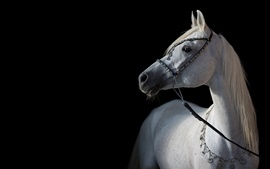 Preview wallpaper White horse, black background