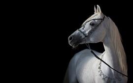 Cavalo branco, fundo preto