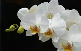 Preview wallpaper White phalaenopsis