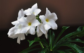 Preview wallpaper White plumeria, green leaves