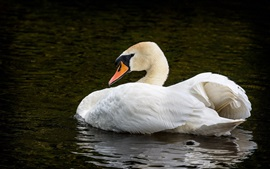 White swan in the pond