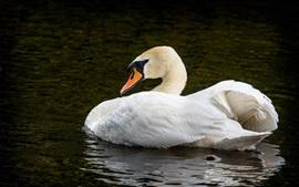 Cisne blanco en el estanque