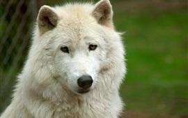 Белый вид волка, лицо