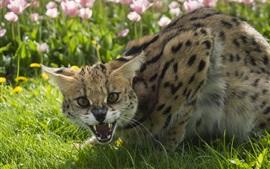 Gato salvaje enojado, césped