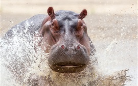 Preview wallpaper Wildlife, Safari, hippo in water, splash