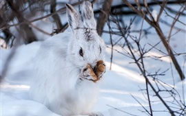Preview wallpaper Winter, snow, hare