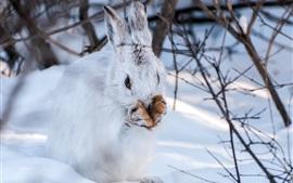 Aperçu fond d'écran Hiver, neige, lièvre