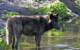 Preview wallpaper Wolf in the water, creek, look