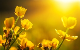 Yellow buttercups flowers