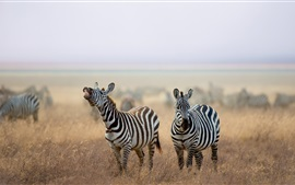 Preview wallpaper Zebra, animals, grass