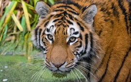 Preview wallpaper Amur tiger, look, face, eyes