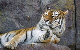 Preview wallpaper Amur tiger, rest, paw, zoo