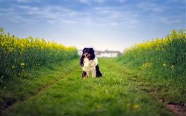Preview wallpaper Australian shepherd dog, rapeseed flowers
