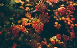 Outono, folhas vermelhas, bokeh