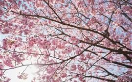Красивое цветение сакуры, дерево, весна