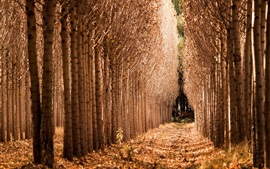 Bosque de abedules, otoño, camino