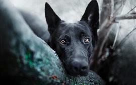 Olho de cachorro preto, rosto, olhos castanhos
