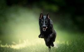 Black dog running, grass, bokeh