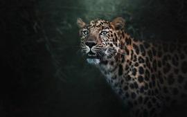 Leopardo dos olhos azuis, predador, dentes