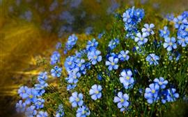 Flores azuis, flores silvestres