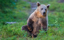 Brown bear, grass, rest