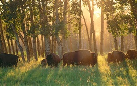 Canada, forest, trees, buffalo, grass, sunshine
