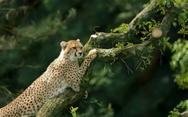 Cheetah climbing tree, moss