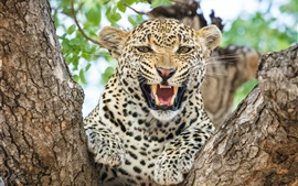 Preview wallpaper Cheetah, front view, roar, teeth