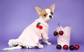 Chihuahua dog look back, sweater, cherry