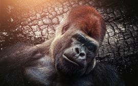 Preview wallpaper Chimpanzee, monkey