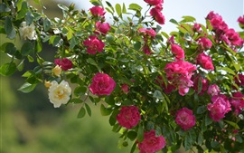 Preview wallpaper Climbing roses, leaves