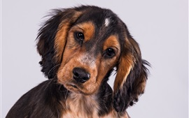 Cocker Spaniel, puppy, face, look