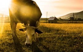 Preview wallpaper Cow eat grass, morning
