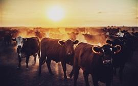 Vacas, amanhecer, nascer do sol
