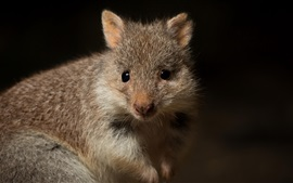 Cute animal, bettong