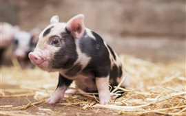 Porco pequeno bonito, olhar, animal de estimação