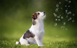 Preview wallpaper Cute puppy look at bubbles