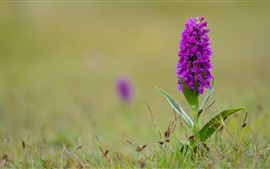 Dactylorhiza, orchid, purple flowers