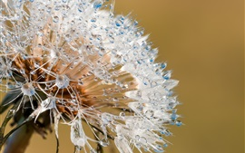 Dandelion, water drops, macro photography