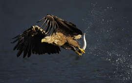 Eagle hunting fish, water splash