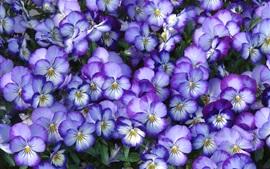 Цветы, лепестки, анютины глазки