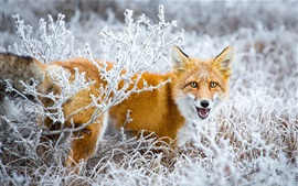 Fox look back, snow, bushes